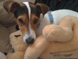 Fanzy, chien Jack Russell Terrier