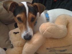 Fanzy, chien Jack Russell Terrier