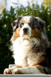 Fanzy Des Diamants Bleu , chien Berger australien