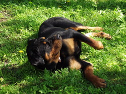 Fao, chien Rottweiler