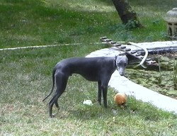 Faolan, chien Whippet