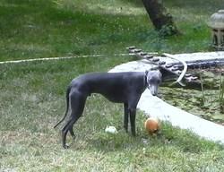 Faolan, chien Whippet