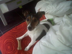 Faq, chien Jack Russell Terrier
