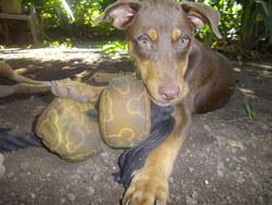 Fara, chien Dobermann