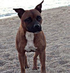 Fara, chien Staffordshire Bull Terrier