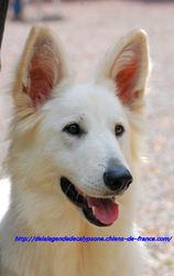 Fara White Du Bois Des Ternes, chien Berger blanc suisse