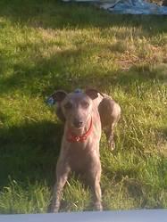 Farah, chien Whippet