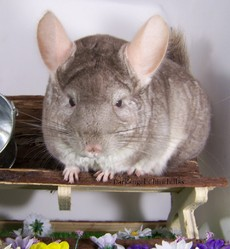 Farah, rongeur Chinchilla