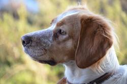 Farah, chien Épagneul breton