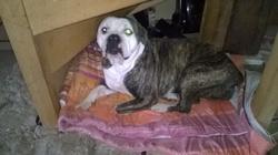 Farah, chien Bulldog