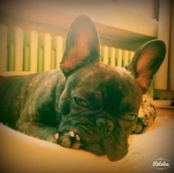 Farah, chien Bouledogue français
