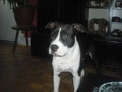 Farah, chien American Staffordshire Terrier