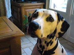 Farandole, chien Dalmatien