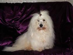 Faraon, chien Coton de Tuléar