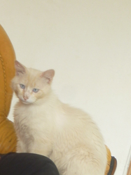 Farine, chat Persan