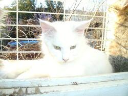 Farine De La Bastide Du Grenadier, chat Maine Coon