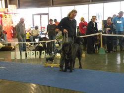 Faros, chien Dogue du Tibet