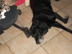 Farouck, chien Labrador Retriever