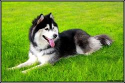 Farouk, chien Husky sibérien