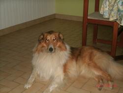 Farouk, chien Colley à poil long