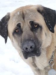 Farouk, chien Berger d'Anatolie
