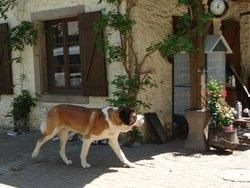 Farouk, chien Saint-Bernard