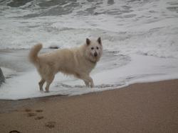 Farouk, chien Berger blanc suisse