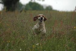 Farouk, chien Setter anglais