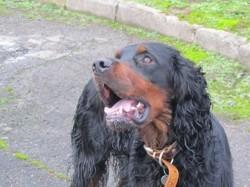 Farouk, chien Setter Gordon