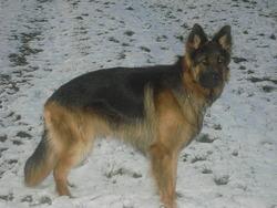 Farouk, chien Berger allemand