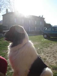 Farouk, chien Landseer