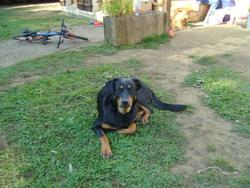 Farouk, chien Beauceron