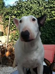 Farrah, chien Bull Terrier