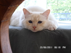Farwest, chat Birman
