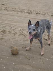 Fashawa Blue, chien Bouvier d'Australie