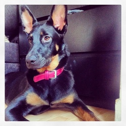 Fashion, chien Beauceron