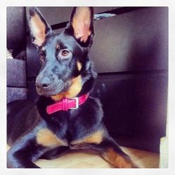 Fashion, chien Beauceron