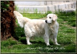 Fashion Kiss, chien Golden Retriever
