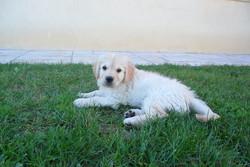 Fast, chien Golden Retriever