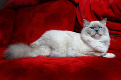 Fatal Beauty De Ragdelight, chat Ragdoll