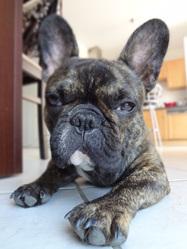 Fatal Fonzy, chien Bouledogue français