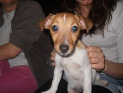 Fatale, chien Jack Russell Terrier