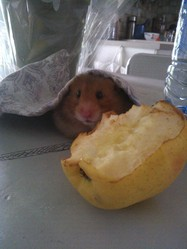 Fatou, rongeur Hamster