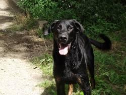 Faust, chien Beauceron