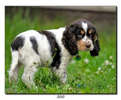 Faust, chien Cocker anglais