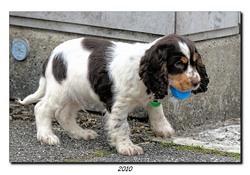 Faustilou, chien Cocker anglais