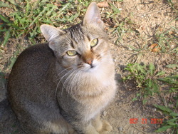 Faustine, chat Abyssin