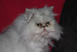 Fausto, chat Persan