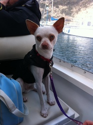 Fausto, chien Chihuahua