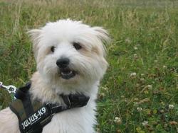 Fauve, chien Berger des Pyrénées